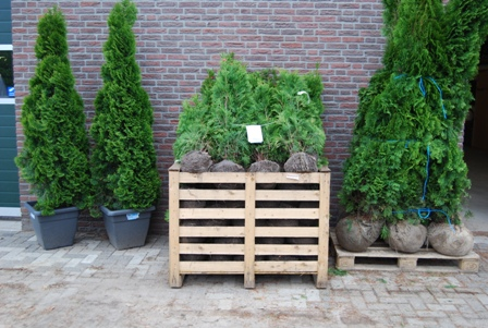 Luxembourg_plantes_thuya_cypres_haie