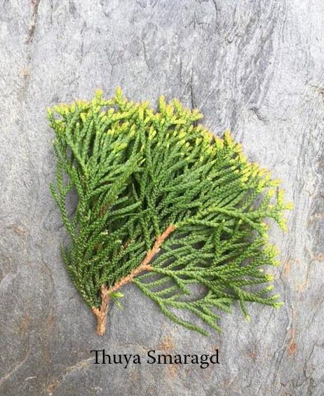 La diff rence entre le feuillage plantes de haies - Maladie des thuyas ...