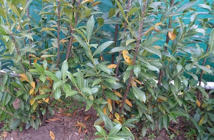 pourquoi les feuilles de mon laurier jaunissent ?