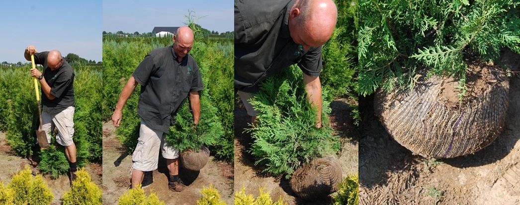 Plantes de haie des meilleures p pini ristes vente en - Planter une haie de laurier ...