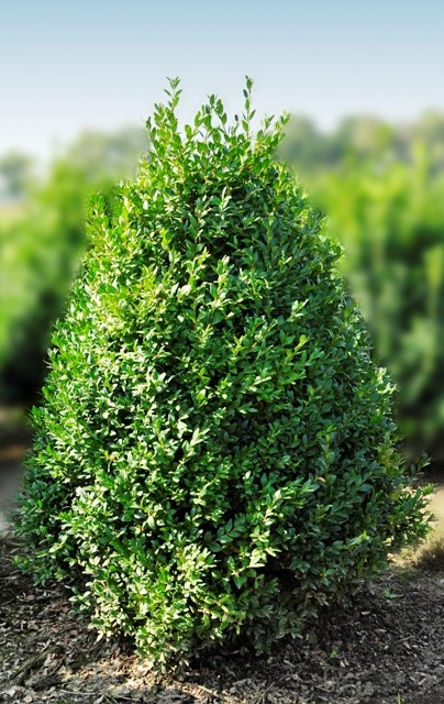 Buis buxus sempervirens vente en ligne arbustes de for Buis pour haie