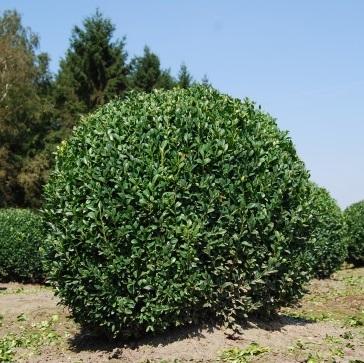 Buxus sempervirens buis boule art topiaire livraison for Boule de buis artificiel 50 cm pas cher