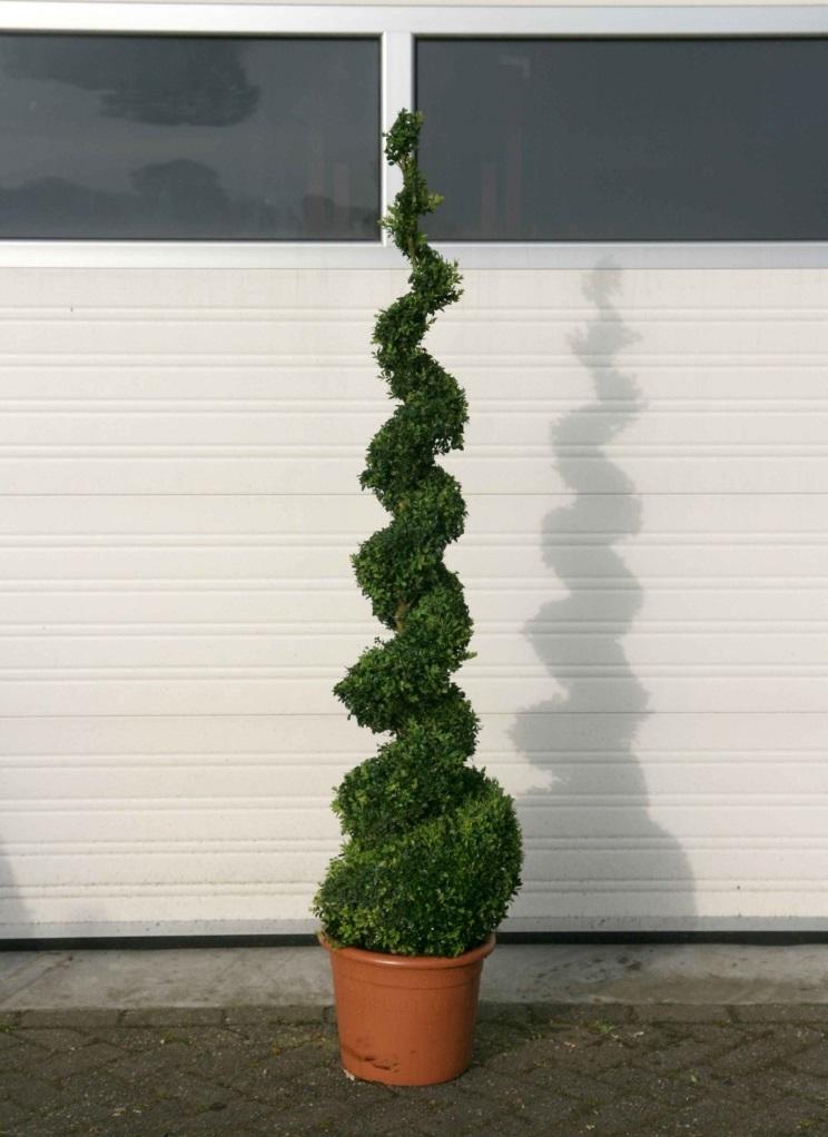 Buis spirale 150 cm art topiaire livraison a domicile for Decoration jardin spirale
