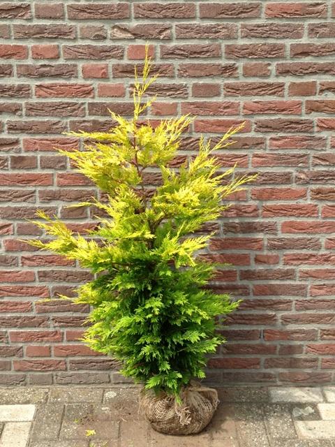 cypr s de leyland gold rider 150 cm plantes de haie d 39 excellente qualit. Black Bedroom Furniture Sets. Home Design Ideas