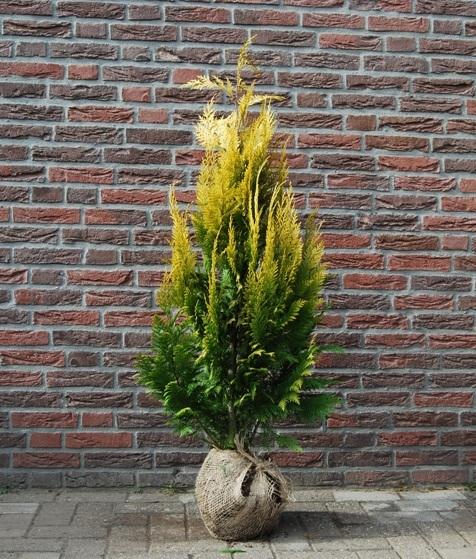 vente cypr s de lawson 39 stardust 39 plantes haies faux cypr s de lawson pas cher. Black Bedroom Furniture Sets. Home Design Ideas