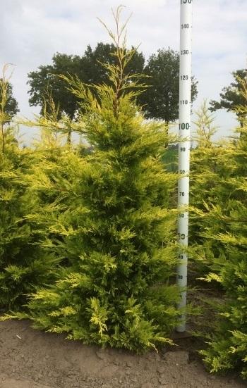 cypr s de leyland de grande taille vente en ligne plantes pour haies hautes pas cher. Black Bedroom Furniture Sets. Home Design Ideas