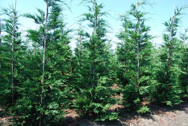 Vente cypr s de leyland 175 200 cm leylandii plantes de haies d 39 e - Entretien cypres de leyland ...