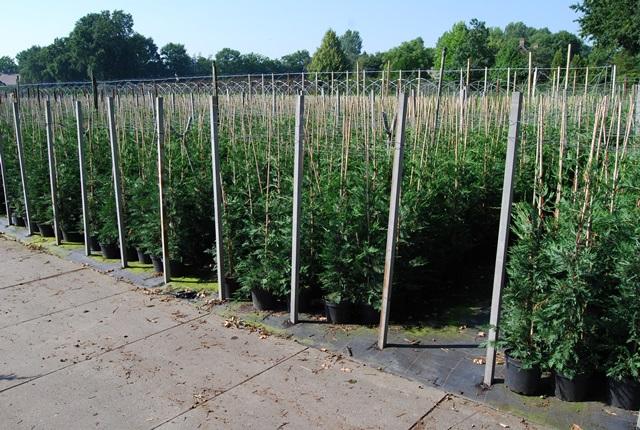 Vente prix cypr s de leyland en pot plantes de haie - Plantation cypres de leyland ...