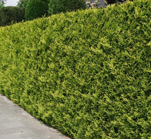 cypr s de lawson 39 stardust 39 225 250 cm plantes de haies grande taille faux cypr s de. Black Bedroom Furniture Sets. Home Design Ideas