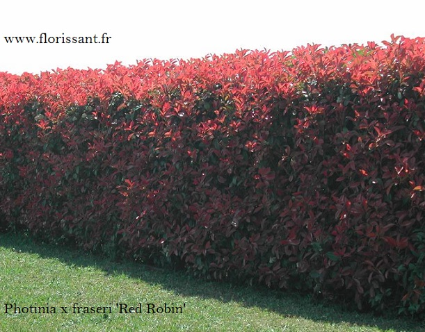 vente plantes de haie photinia red robin grande taille prix. Black Bedroom Furniture Sets. Home Design Ideas
