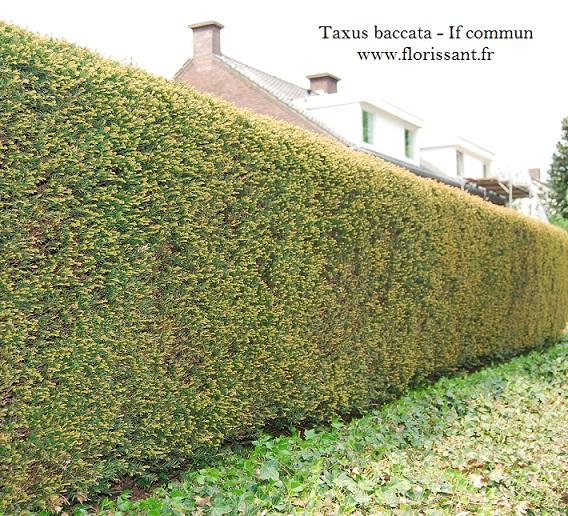 Taxus baccata en grande taille if commun vente en - Prix sapin pour haie ...