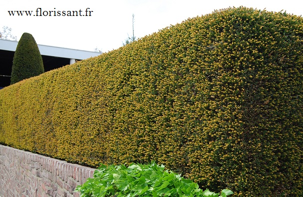 Vente de plantes haies en grande taille livraison en le de france haie brise vue brise vent - Haie anti bruit ...