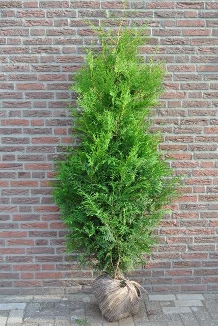 Thuya brabant 150 175 cm plantes haies pas cher vente en ligne sapin de haie - Haie de jardin qui pousse vite ...