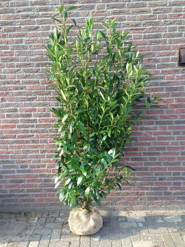 laurier du caucase 80 100 cm prunus caucasica arbustes pour haies pas cher. Black Bedroom Furniture Sets. Home Design Ideas