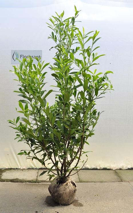 laurier 125 / 150 cm - prunus caucasica - arbustes pour haies. pas