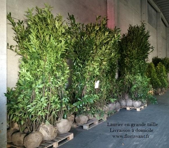 Laurier caucase 225 250 cm prunus caucasica vente en - Laurier haie pas cher ...