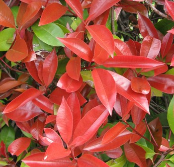 vente prix plantes de haie photinia fraseri 39 red robin 39. Black Bedroom Furniture Sets. Home Design Ideas