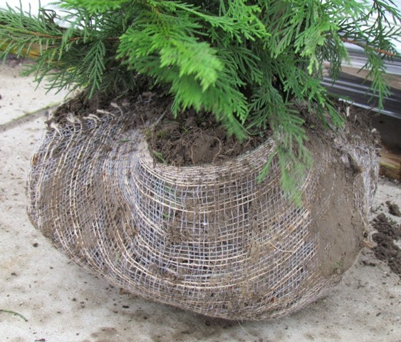 cypr s de leyland 300 350 cm plantes de haie en grande taille. Black Bedroom Furniture Sets. Home Design Ideas