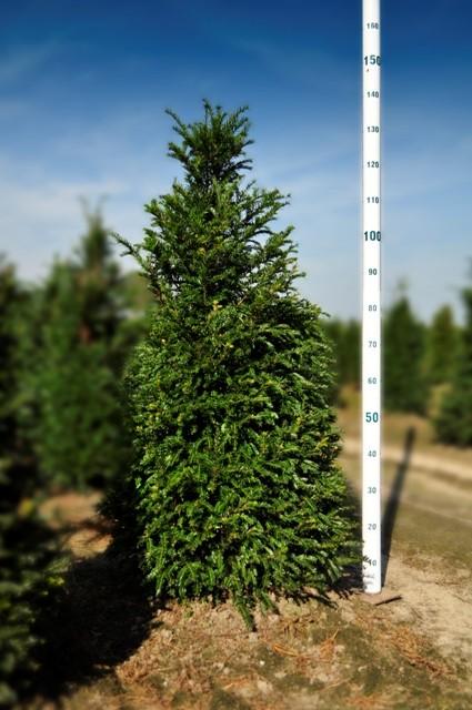 Taxus baccata if commun vente en ligne de plantes et for Achat plantes et arbustes en ligne