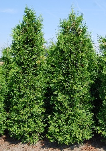 Thuya du canada brabant plantes de haie - Plantation cypres de leyland ...