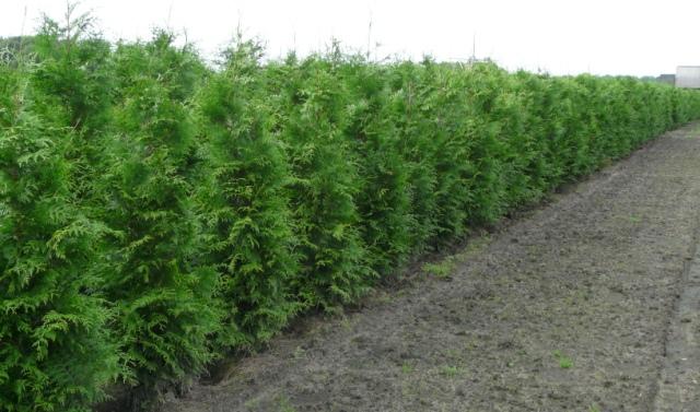 planter un thuya