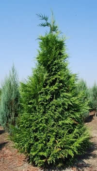 Sp cialiste des plantes de haie thuya laurier et cypr s for Arbre d ombrage croissance rapide