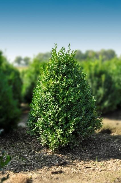 Buis buxus sempervirens vente en ligne arbustes de for Arbuste en ligne