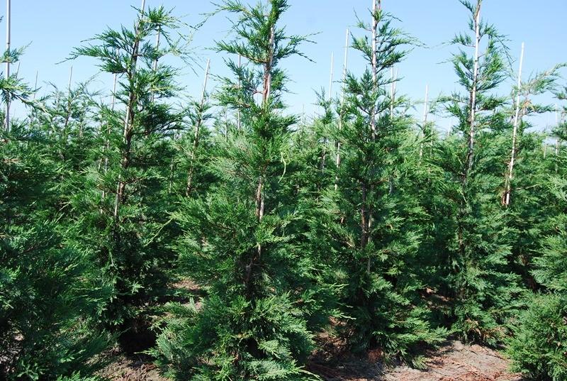 Vente prix cypr s de leyland 300 cm plantes de haie - Plantation cypres de leyland ...