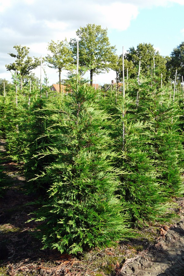 Vente en ligne cypr s de leyland 150 175 cm - Plantation cypres de leyland ...