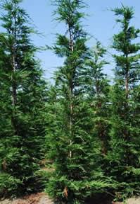 Sp cialiste des plantes de haie thuya laurier et cypr s pour une haie dense brise vue - Cypres de leyland plantation ...