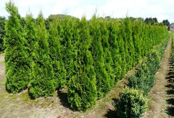 Thuja Smaragd  Emerald Cedar  Southern Woods
