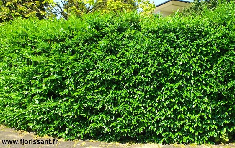 laurier 150 175 cm prunus arbustes pour haies pas cher achat prix vente laurier pour haie. Black Bedroom Furniture Sets. Home Design Ideas