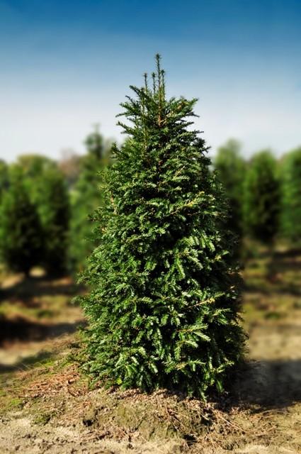 Taxus baccata 100 cm if commun plantes pas cher for Vente arbuste