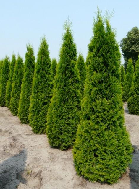 Thuya emeraude thuya smaragd plantes de haies livraison - Plantation cypres de leyland ...