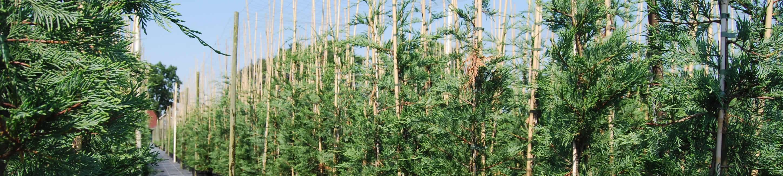 Arbuste Brise Vue Terrasse spécialiste des plantes de haie : thuya, laurier et cyprès