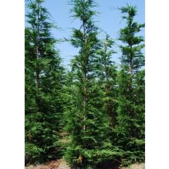 Cypr s de leyland 250 cm plantes de haie en grande - Plantation cypres de leyland ...