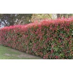 vente plantes de haie photinia x fraseri 39 red robin 39 100 125 cm. Black Bedroom Furniture Sets. Home Design Ideas