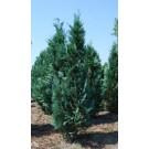 cypr s de lawson 39 columnaris 39 200 cm plantes pour haie. Black Bedroom Furniture Sets. Home Design Ideas
