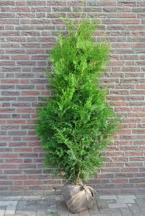 Thuya Brabant - Thuja occidentalis - Hauteur max. 5 m.