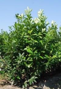 Prunus laurier