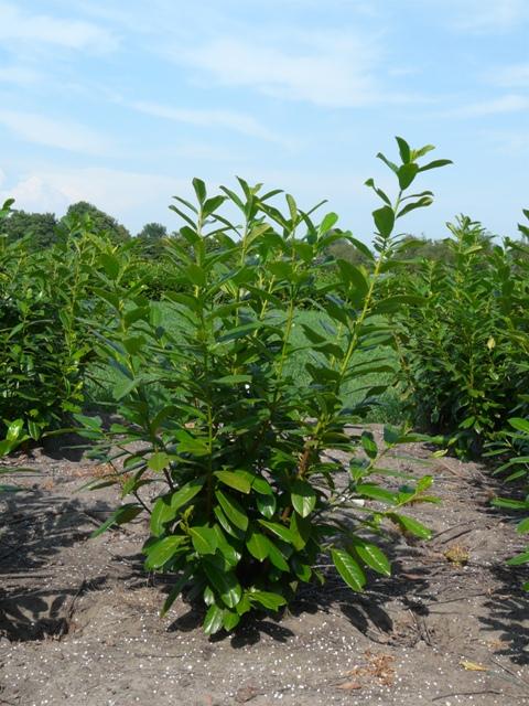 Vente en ligne - Laurier Rotundifolia