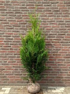 Thuja plicata - Thuya Géant - Plantes de haies pas cher