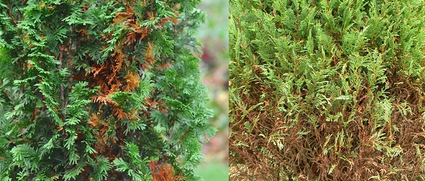 maladies thuya thuja haies